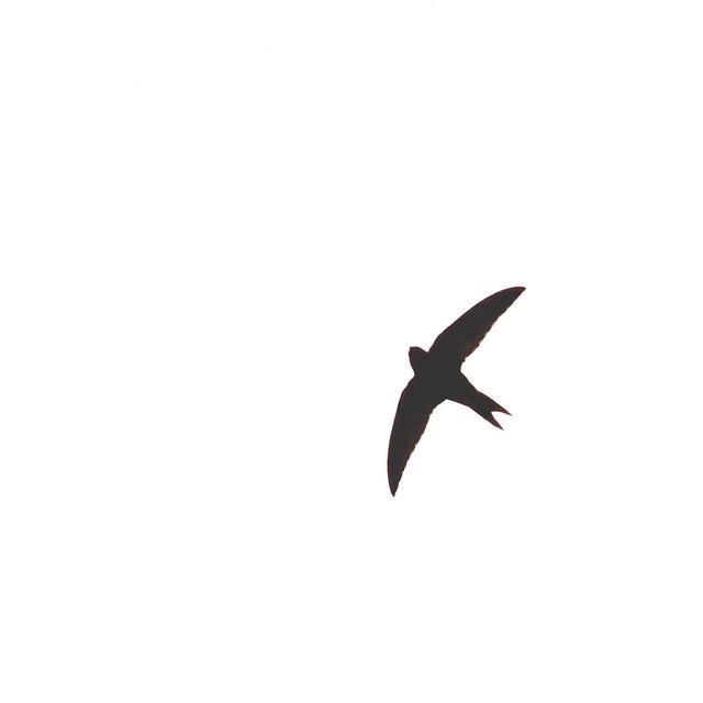 Common swift, Apus apus, Tornseglare