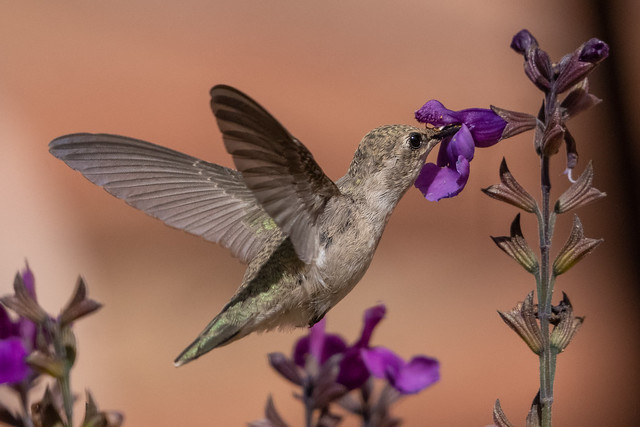 female hummingbird sipping on the salvia