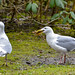 Glaucous-winged Gulls with Sea Star