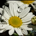 Daisy like flower with droplet