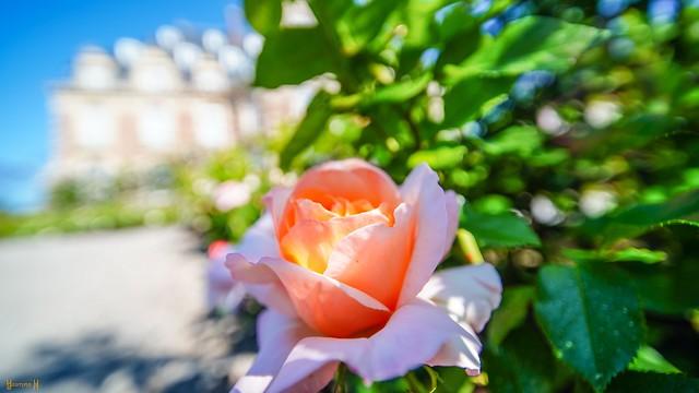 9834 - La Rose