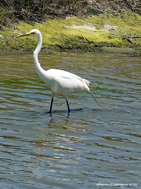 Wading Egret - Eplored 6/12/21