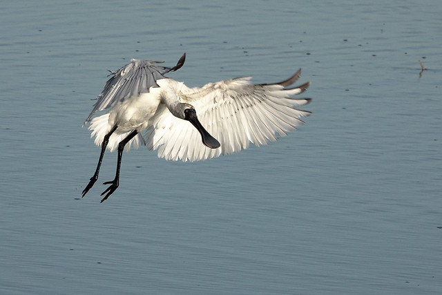 Coming in the land - Royal spoonbill