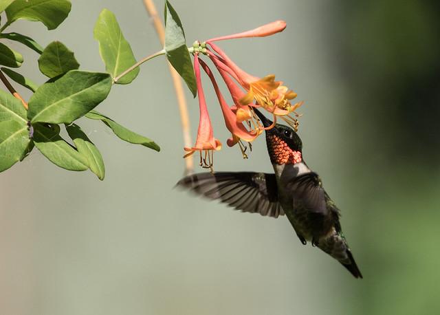 015A0072 Ruby-throated Hummingbird
