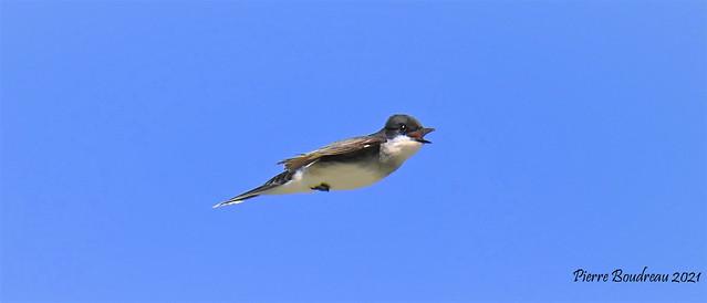 Tyran tritri - Eastern kingbird Baie-du-Febvre Juin - June 2021.