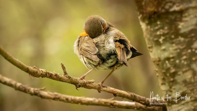 Birds of Glencoe - Robin