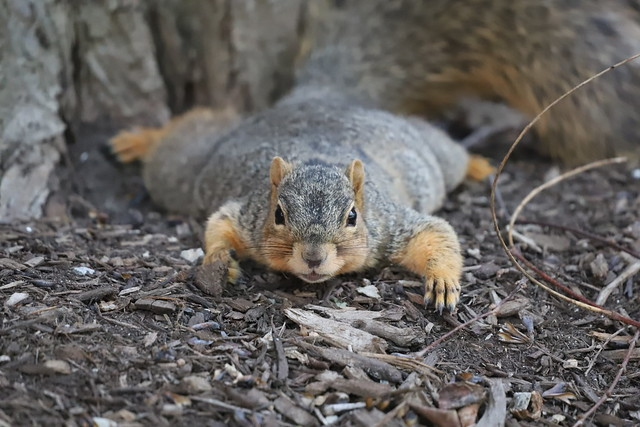 Fox Squirrels in Ann Arbor at the University of Michigan 162/2021 365/P365Year13 4748/P365all-time (June 11, 2021)