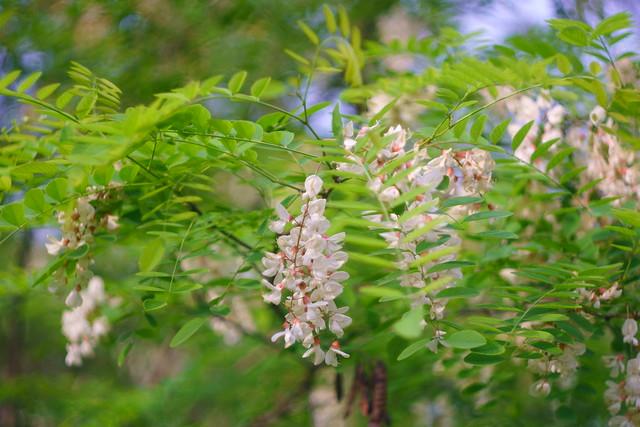 Цветение акации /  Acacia blossom (1)