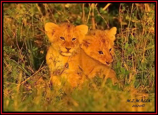 PAIR OF LION CUB RELAXING  (Panthera leo)....MASAI MARA.....OCT 2020.