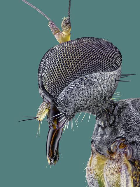 Hybotidae, Platypalpus spec., Buckeltanzfliege / dance fly