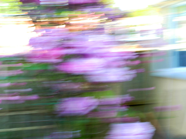 A blur of roses