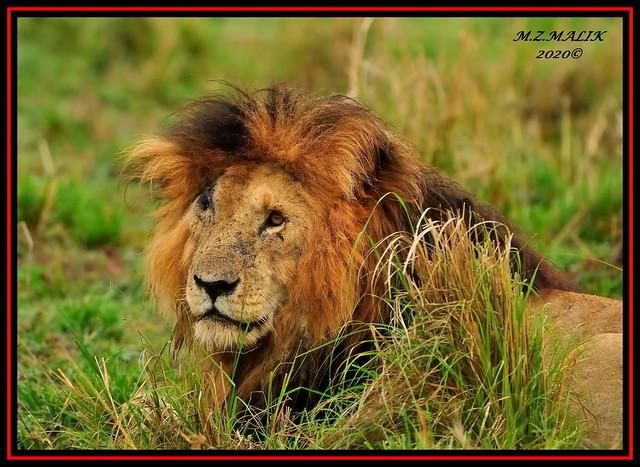 SCARFACE, KING OF THE JUNGLE (Panthera leo)....MASAI MARA......OCT 2020.
