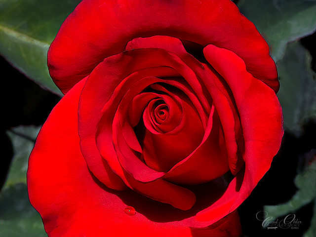 A rose is a rose...and a thing of beauty.