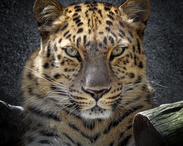 Leopard Mom