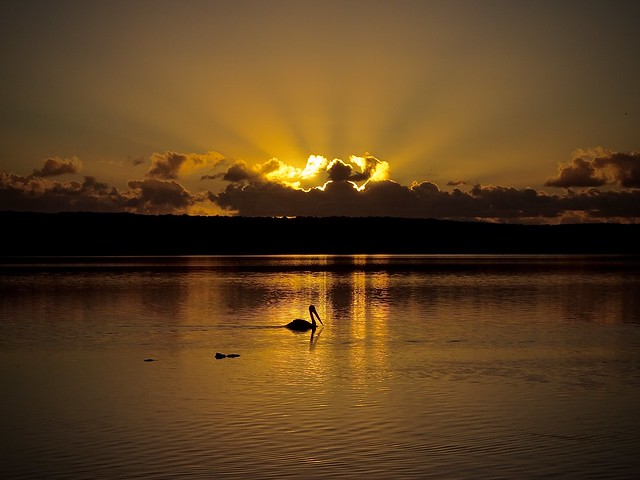 Sunset on the lake with pelican at Noosa