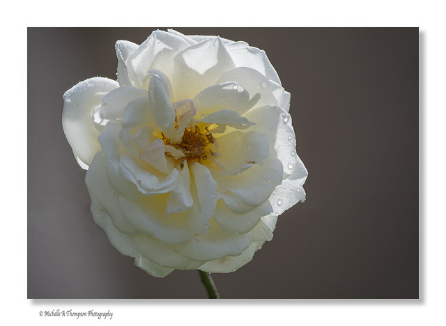My white garden rose