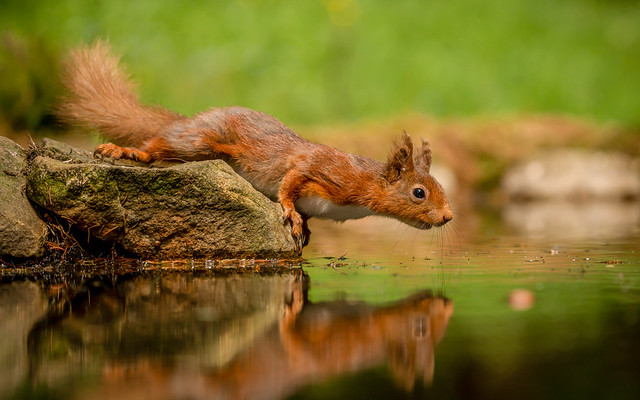 Headline: Red Squirrel drops his nut in pond