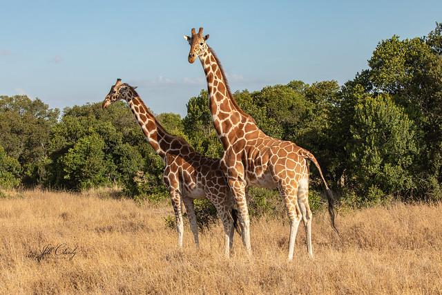 Armchair Traveling - Giraffes