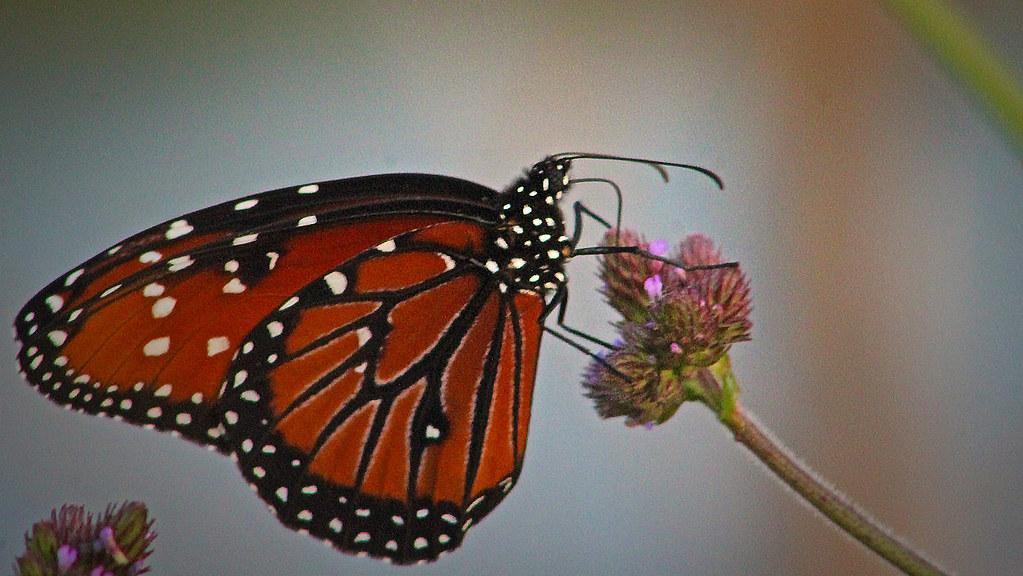 2021.04.24 La Chua Queen Butterfly 4