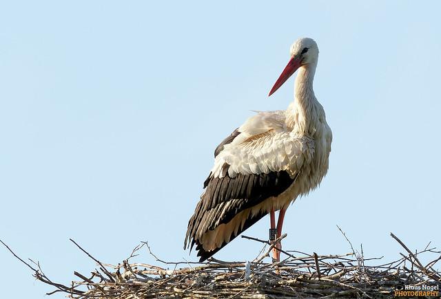 white stork > < Weißstorch