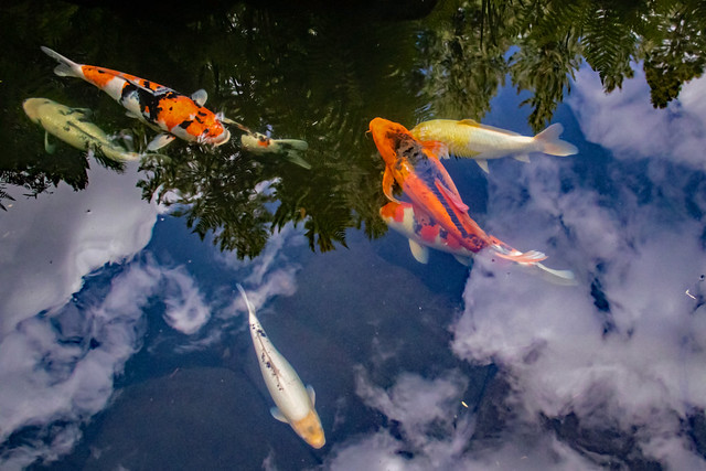 Koi in the Clouds