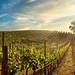 Lynmar Estate Winery vineyard at sunset