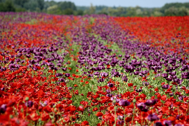 Colorful fields / Színpompás mezők