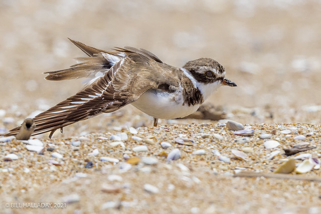 Semipalmated Plover Wing Stretch