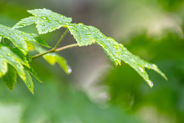 Raindrops on the Green Vine Maple Leaves 2 of 2