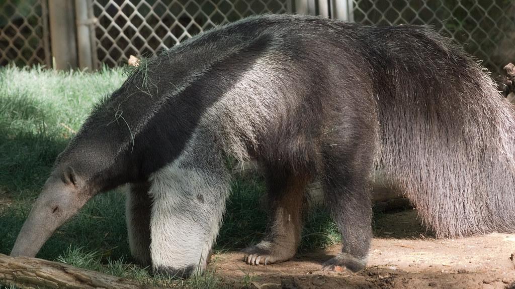 Giant anteater at Reid Park Zoo, June 2021