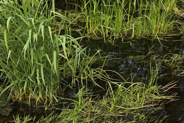 Grass in a small stream