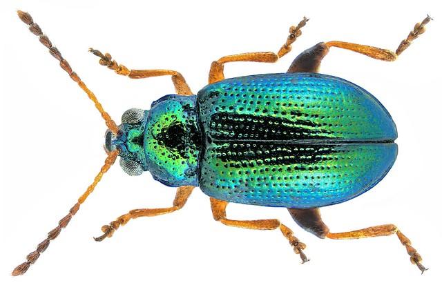 Crepidodera fulvicornis (Fabricius, 1792)