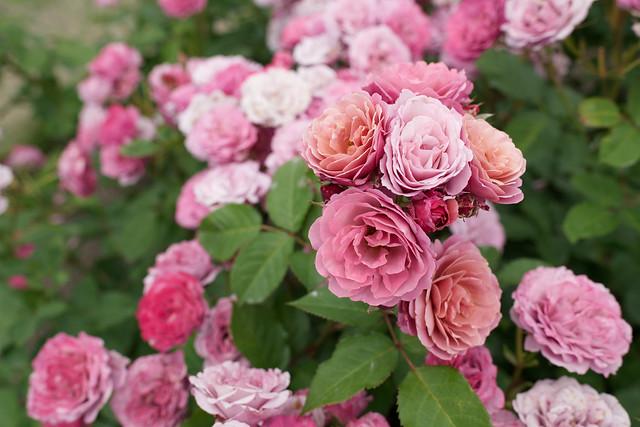 Rose 82