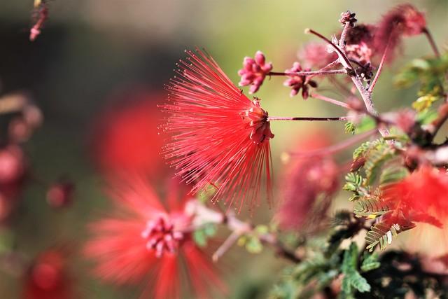 Baja fairy duster flower