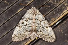 Laugher Moth