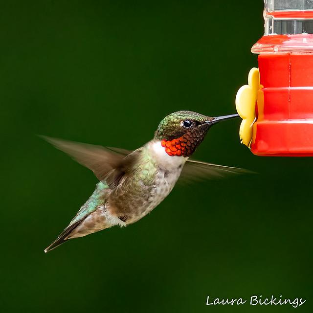 Hummingbird #3-1