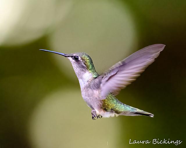 Hummingbird #5-1
