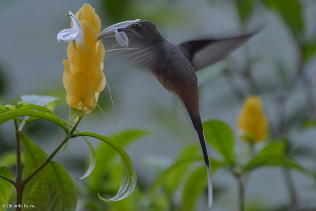 Beija flor de cauda branca.