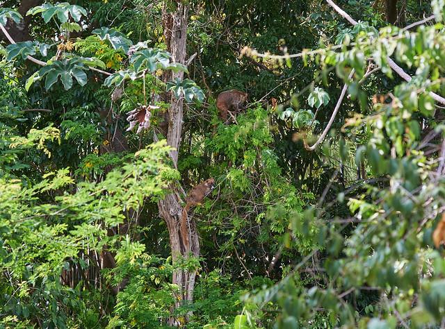 Coati (Coatimundi)