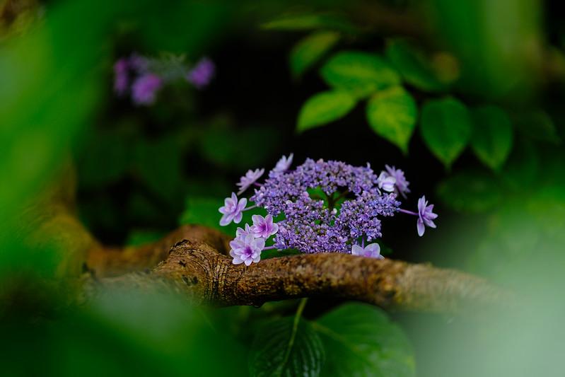 Small Hydrangea in the Garden