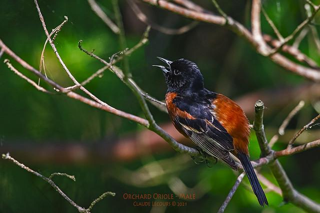 Orchard_Oriole_M_WEB_2U6A9618