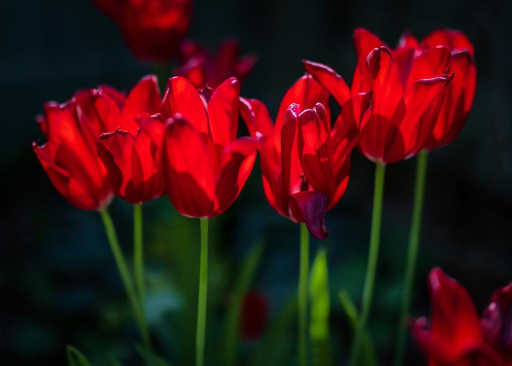 Tulips, June 6, 2021