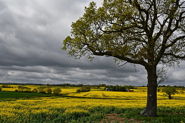 A Field Of Yellow Prepares For An Approaching Storm..