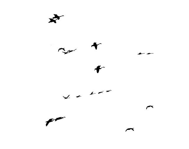 EIGHTEEN SWANS