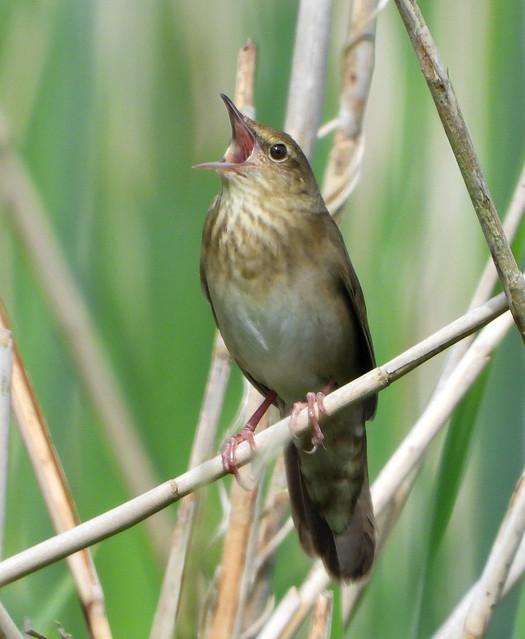River Warbler, singing.