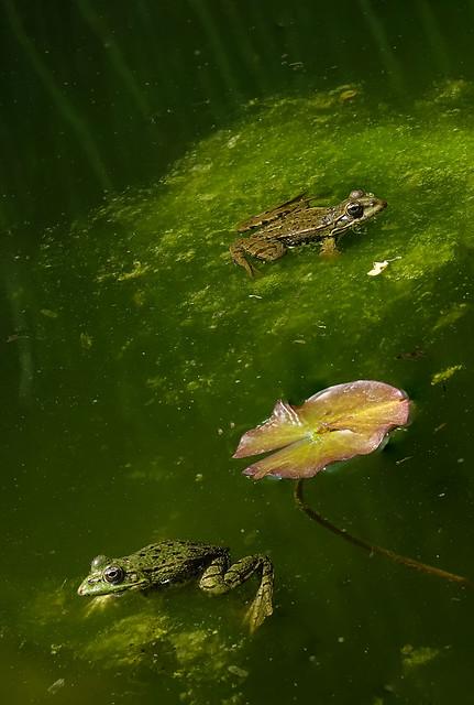 Tarde de ranas