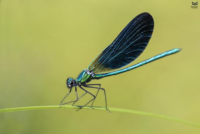 libelinha