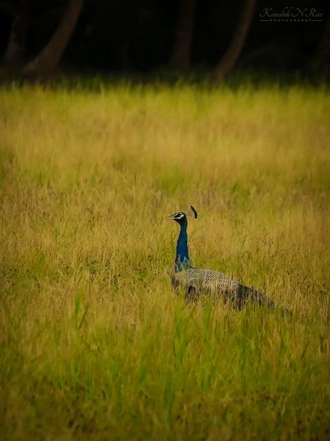 Vivid😍  Indian Peafowl (Pavo cristatus)