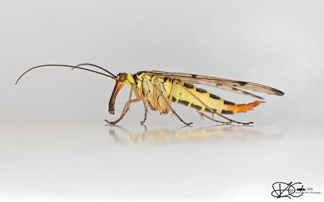 B57I2156-Scorpion-Fly,-Panorpa-communis