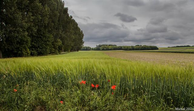 du blé , des arbres et des coquelicots , wheat, trees and poppies